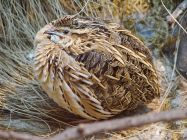 breeding quail bird