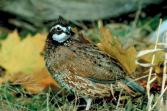 quail bird breed