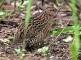 quail bird