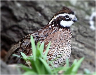 quailbird